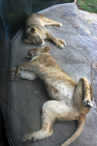 Sisters Lina & Jasiri nap together at the exhibit window.