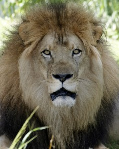 11-year-old lion Kamau is settling in well in his new Dallas Zoo home.