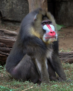 Savuti fits right in with his new mandrill troop.