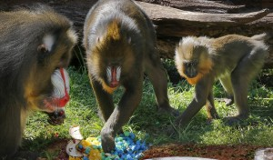 Savuti, Saffron and Obi eat Obi's 1st birthday cake