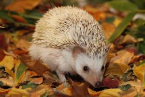 Hedgehog-African Pygmy