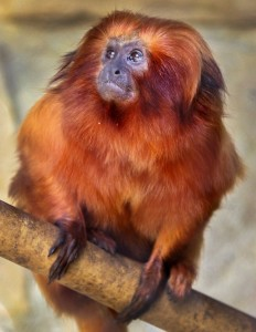 IMG_1599 Golden Lion Tamarin CS