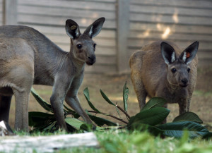 Dallas Zoo welcomes brother and sister western grey kangaroos, Barry and Gidgee.