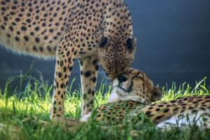 IMG_9756 Cheetahs nuzzling CS