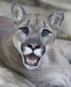 Mountain lion have the largest range of any terrestrial mammal in the Western Hemisphere.
