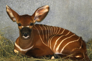 Amara was born Nov. 5, making her our 24th eastern bongo calf.