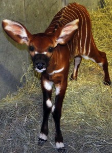Amara will grow up to be the largest forest antelope on earth.