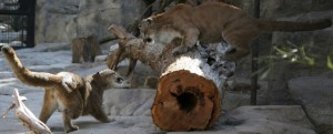 Mountain lions can jump an impressive 18 feet from the ground into a tree.