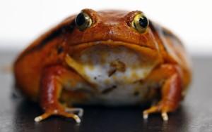 _MG_9734 Tomato Frog CB