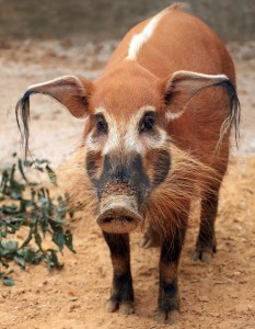 Red River Hog Hank