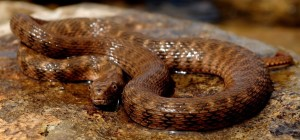 A baby Brazos water snake photographed by DFW Herpetological Society president Mark Pyle.