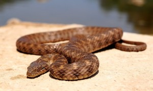 These small snakes average 20-30 inches long./Mark Pyle