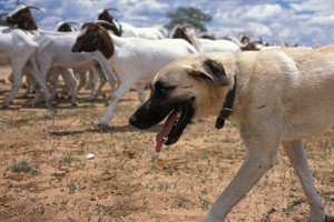 A CCF-trained Anatolian shepherd guards its livestock from predators./CCF
