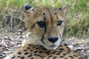 _DSC0012 cheetah AA