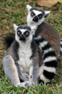 IMG_4174 Ring tailed lemurs CS