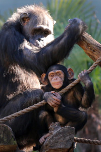 At nearly two-years-old, Mshindi will remain close to mom for the next few years.