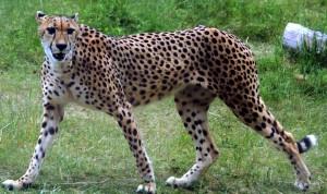 IMG_7266-cheetah