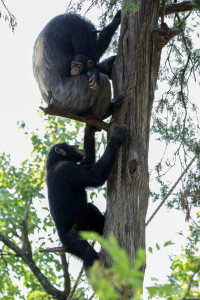 Six-year-old Kona joins mom Ramona and little brother Mshindi on their favorite tree branch.