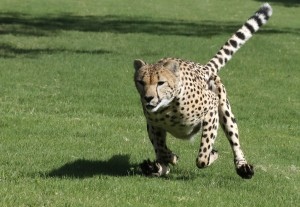Ambassador cheetah Winspear shows off his speed in the Cheetah Encounter.