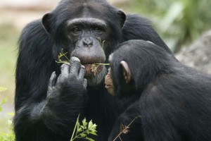 _MG_9379-Chimps-Mookie-CB