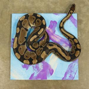_MG_9743-Dewey-ball python