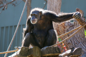 50-year-old chimp Missy basks in the sun.