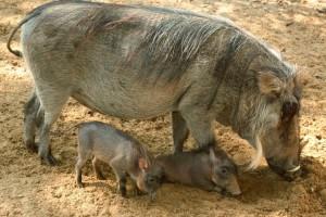 Warthogs 2011