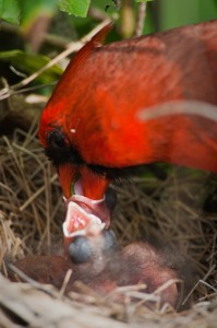 A cardinal feeds its chick./Sean Fitzgerald