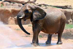 Gypsy wears her RFID tag while enjoying a shower in the Savanna.