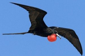 A male magnificent frigatebird photographed by Judd Patterson.