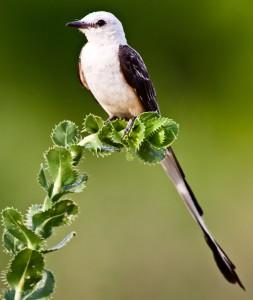 Scissor-tailed flycatcher by Sean Fitzgerald.