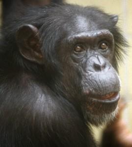 Bon Bon Chimp 1996