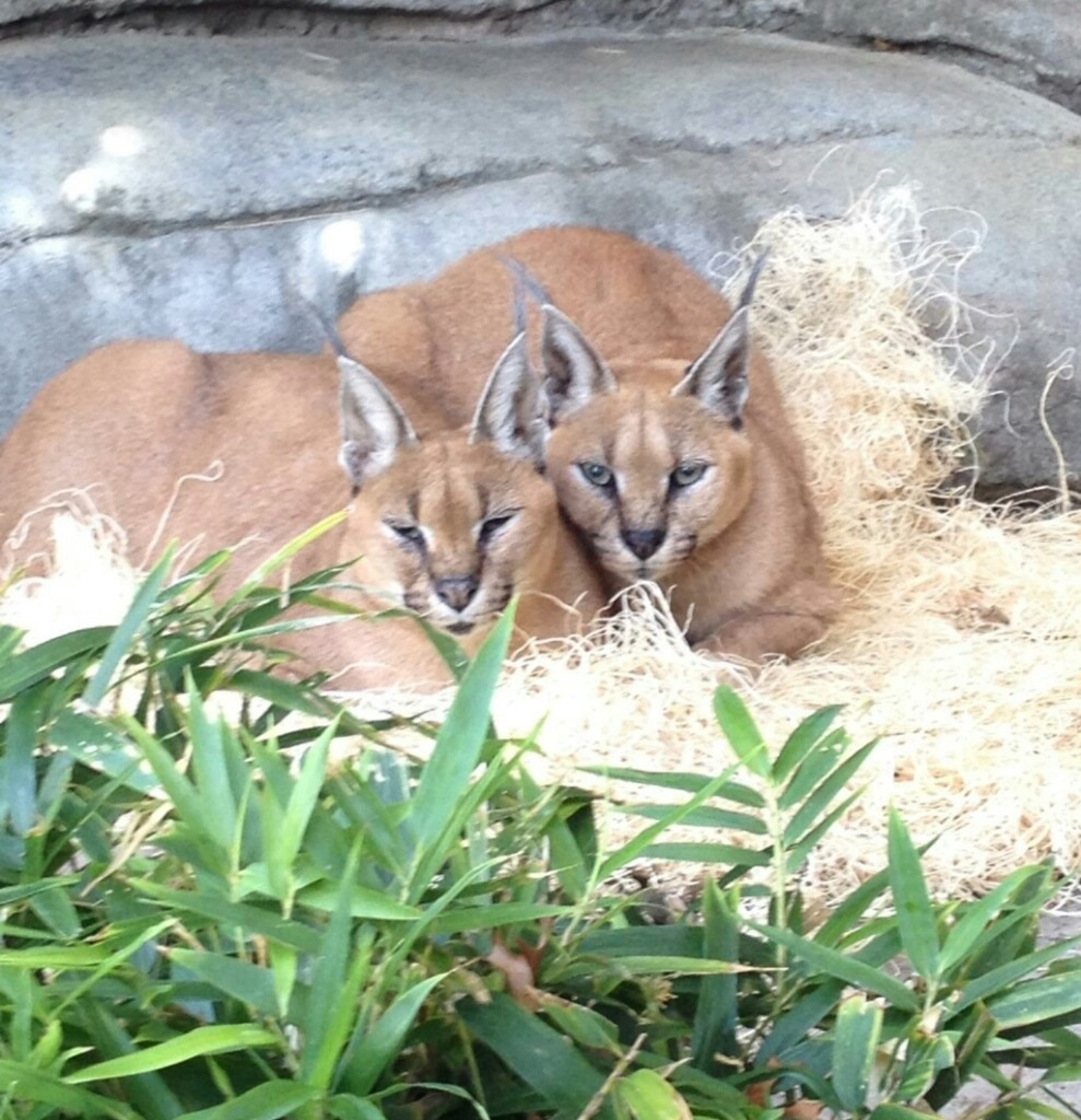 Caracal sisters by Megan Lumpkin