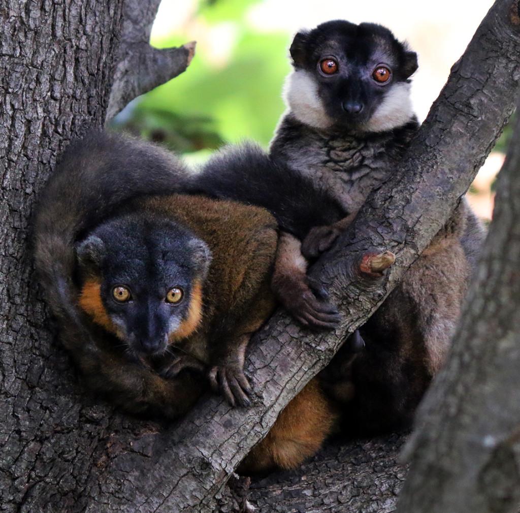 IMG_1156 Collared Lemurs CS