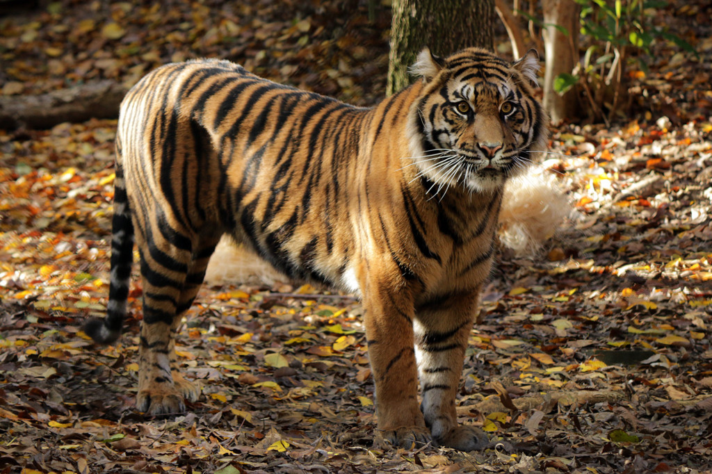 IMG_7151 Suki Tiger CS