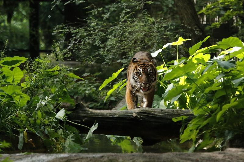 Tigers | Dallas ZooHoo!