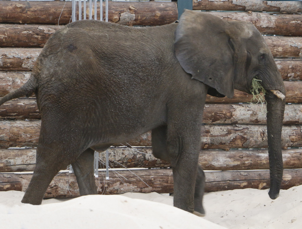 Our new bull elephant grabs a bite in the new elephant barn Friday, March 11.