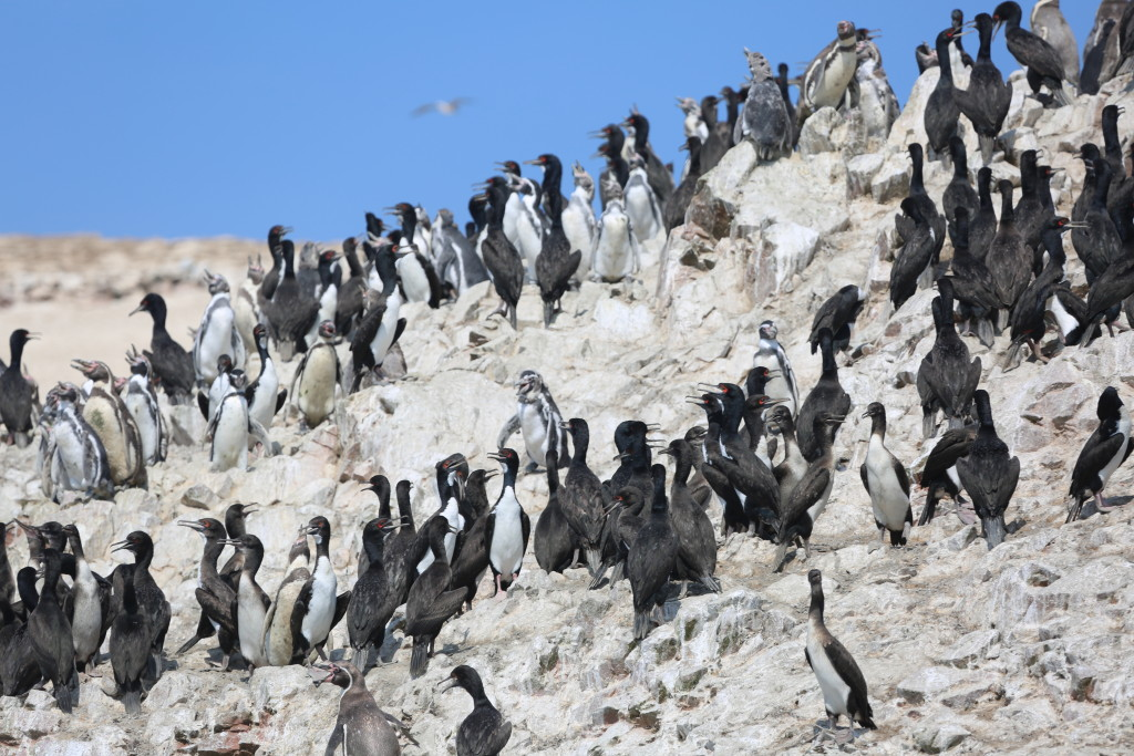 Humboldt penguins along the Peruvian coast. Photo credit: Austin McKahan, Kansas City Zoo digital marketing manager