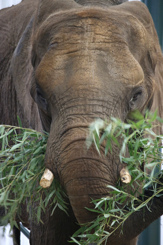 One of Dallas Zoo's new female elephants eating bamboo.