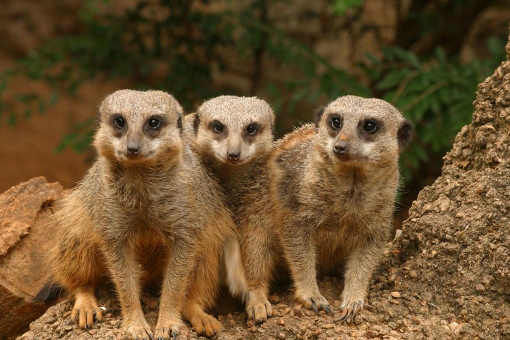 Meerkats-CB