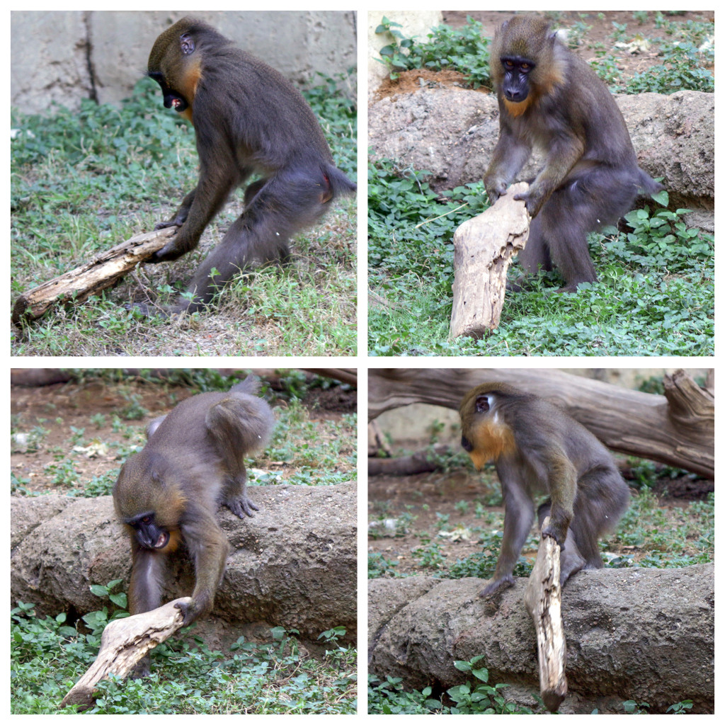 Obi Mandrill with log square 4 CS