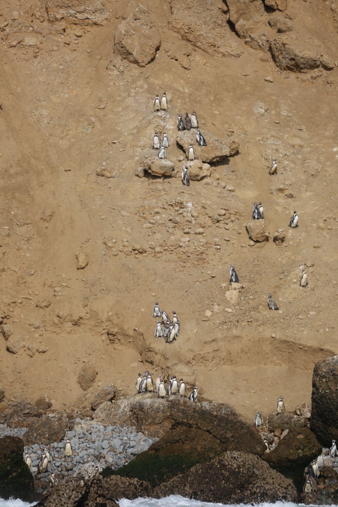 Penguins in Peru