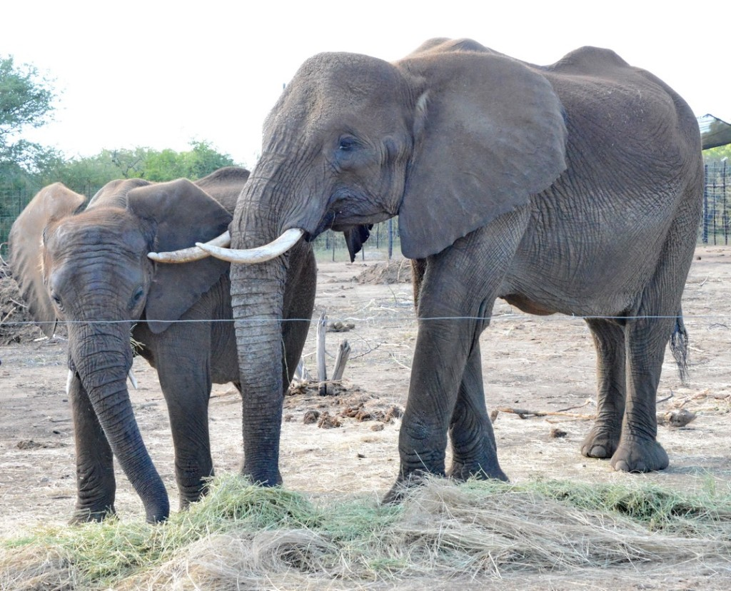 Two of the 17 elephants now en route to safe haven in the U.S. from drought-stricken Swaziland.