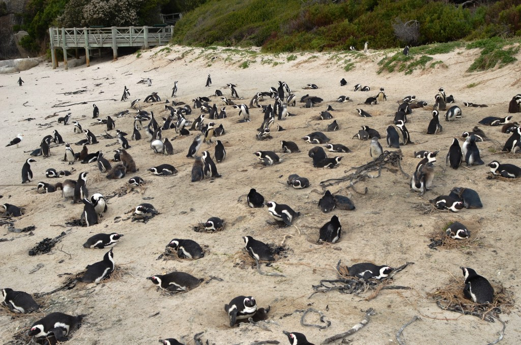 African penguins are now nesting in the open in some South African locations.