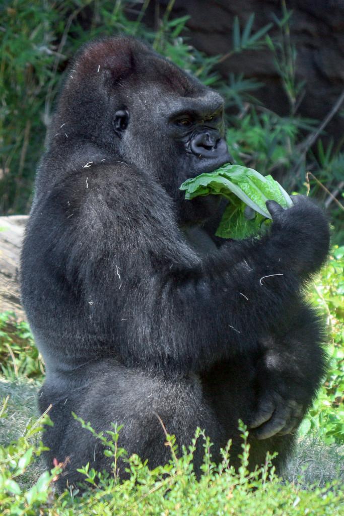IMG_1352 Gorilla B'wenzi CS