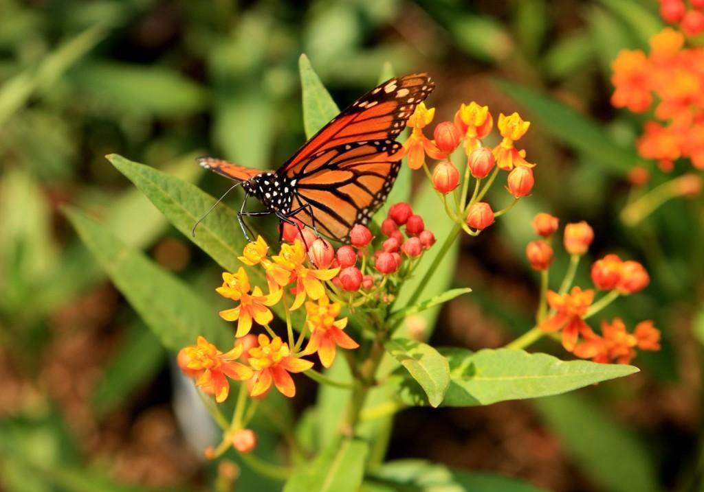 IMG_1385-4x6-Monarch-CB