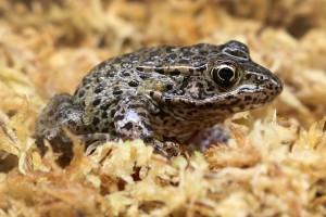 IMG_9163 Gopher Frog CS