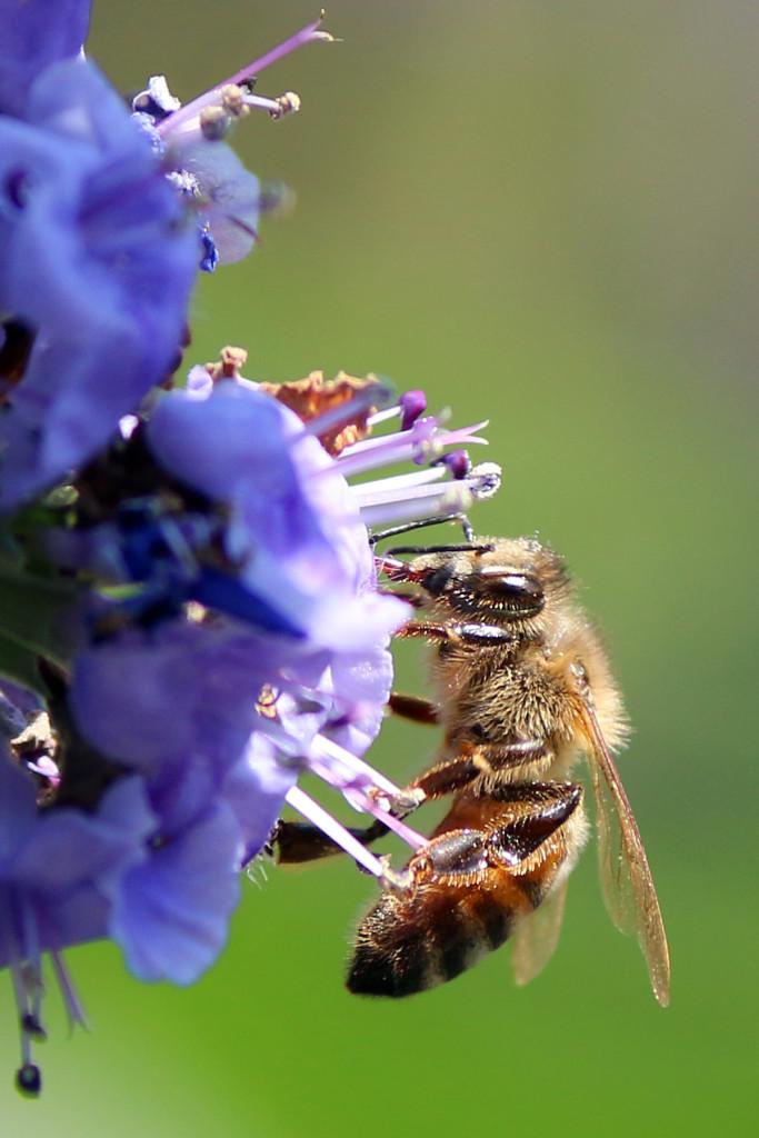IMG_9865 Bee on purple flower CS