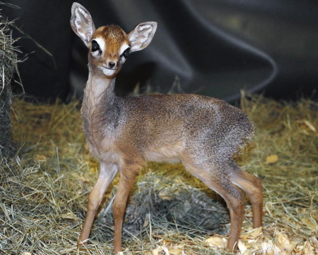 _MG_0847-dik dik male calf 3 weeks old-CB