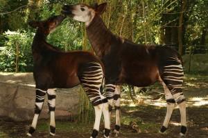 IMG_7043-Okapi